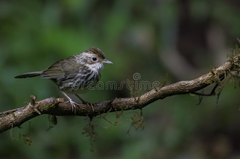 Puff Throated Babbler royalty free stock photography