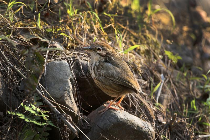 Puff-throated babbler. The puff-throated babbler or spotted babbler is a species of passerine bird found in Asia. They are found in scrub and moist forest mainly stock photos