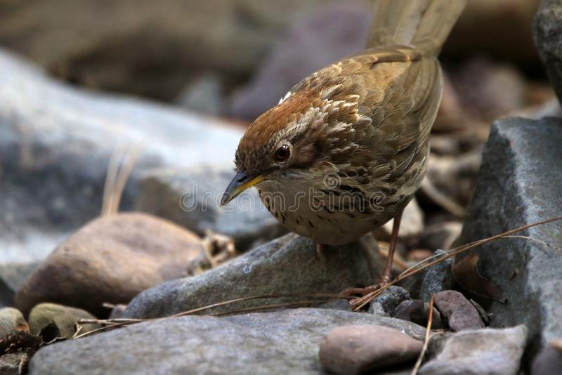Puff-throated babbler. The puff-throated babbler or spotted babbler is a species of passerine bird found in Asia. They are found in scrub and moist forest mainly royalty free stock images