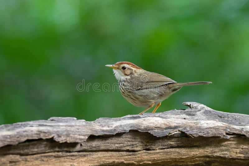 Puff-throated spotted Babbler bird in brown with streaks on breast and belly royalty free stock images