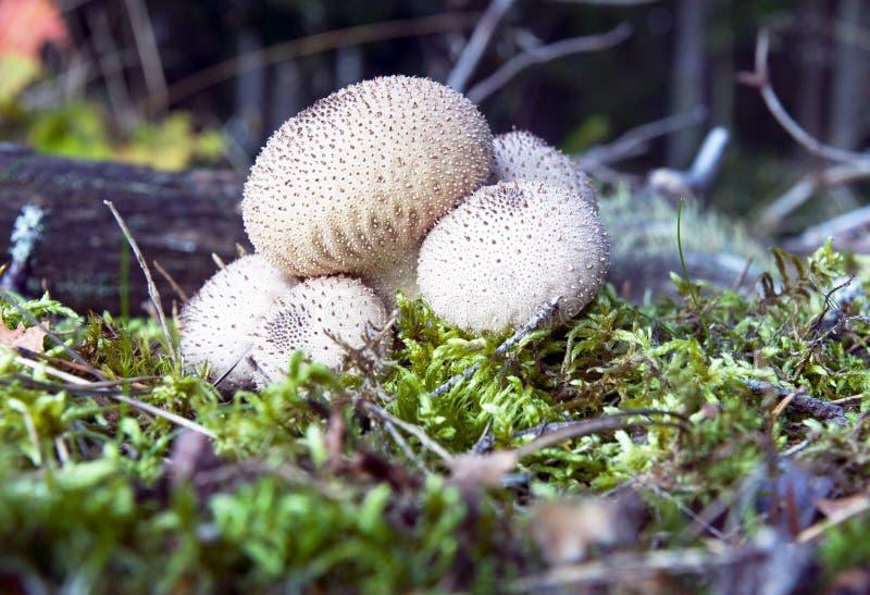puffball гриба стоковые изображения rf