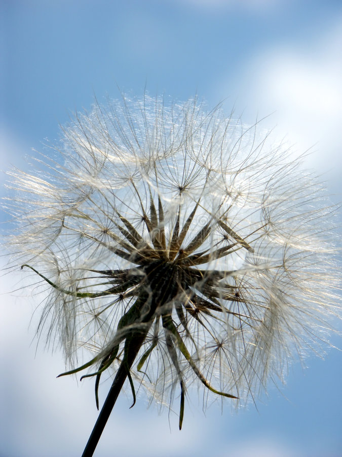 Download Puffball against the sky stock photo. Image of dandelion - 158914
