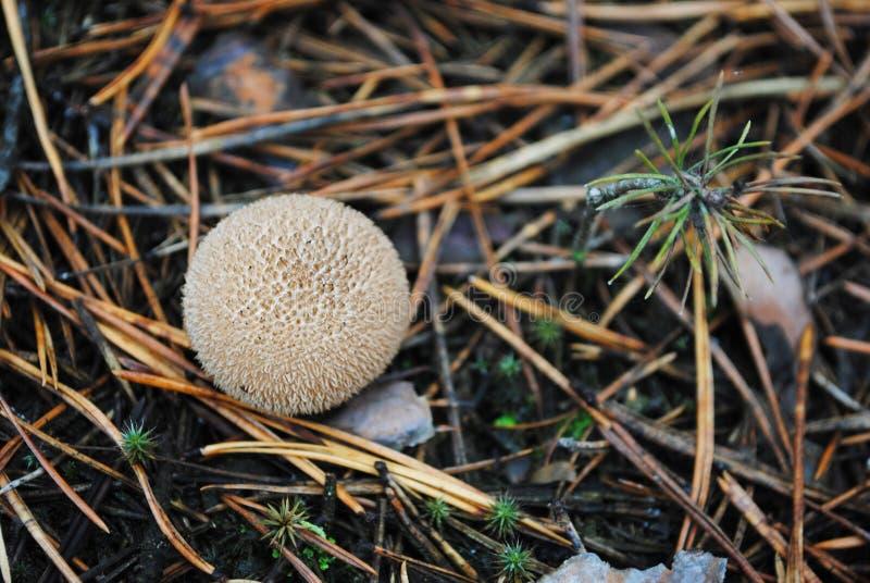 Puffball común del perlatum del Lycoperdon, puffball warted, puffball gema-tachonado, seta de la tabaquera del diablo fotos de archivo