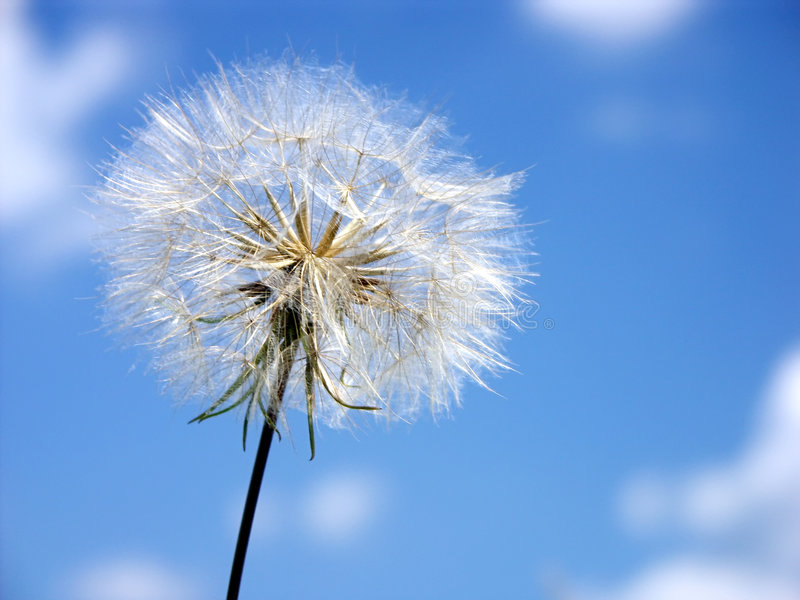 Puffball contre le ciel image libre de droits