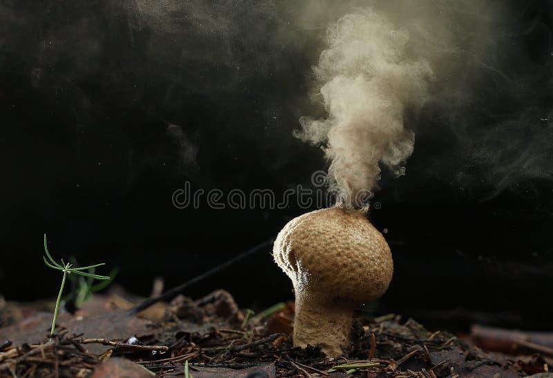Puffball fungus spores stock photos