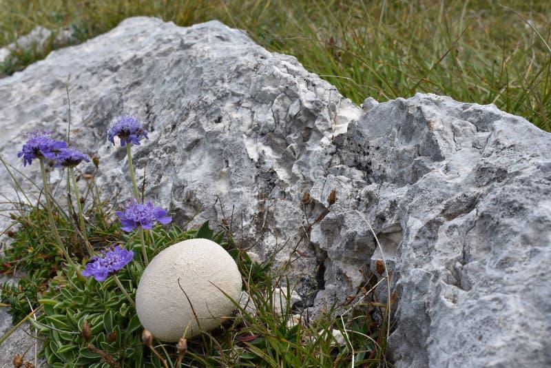 Puffballchampinjonen och växa för blommor från vaggasprickan på överkanten av berget arkivfoto