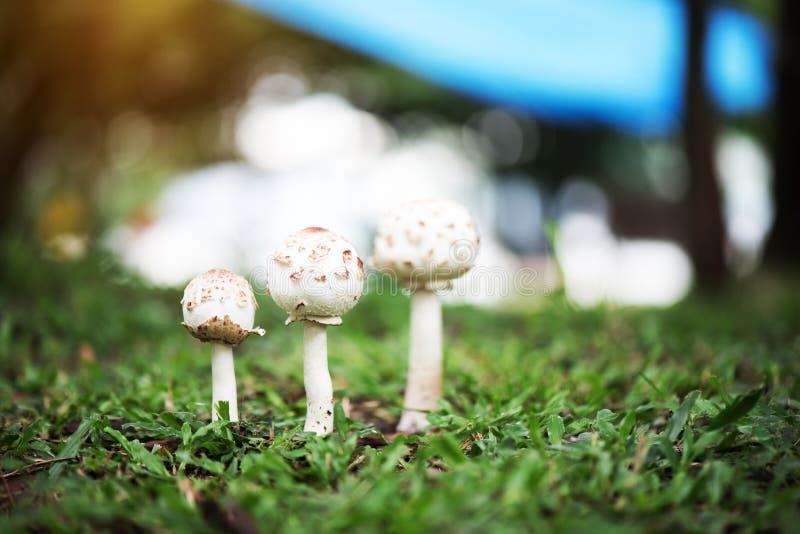 Puffballpaddestoelen die op groen gras in het bos na het regenen groeien mooie bokeh en natuurlijk licht van de zonneschijn royalty-vrije stock afbeeldingen