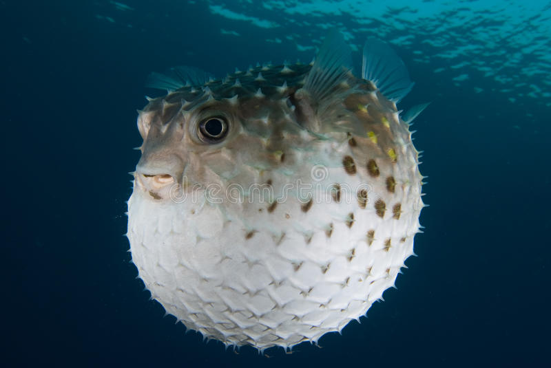 A puffed up Porcupinefish (Diodon hystrix) stock images