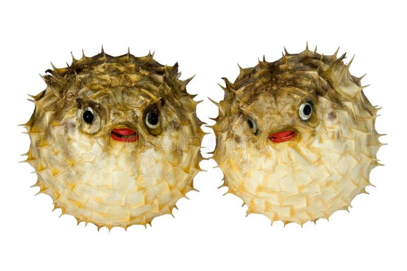Puffer-Fische stockfotografie