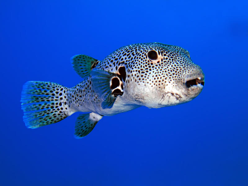 Puffer Fish. Starry Puffer (Arothron stellatus). Taken at Sharks Bay in Egypt stock images