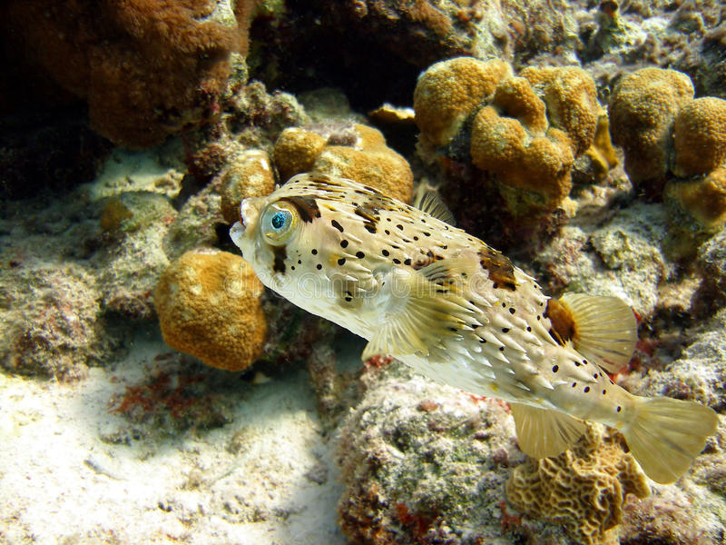 Puffer fish. A Spiny Burr Fish, a member of the puffer family, swims among the bright coral reef in search of a meal early one morning. These fish are well royalty free stock images