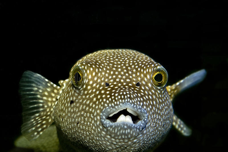 Puffer fish. Close up macro royalty free stock photography