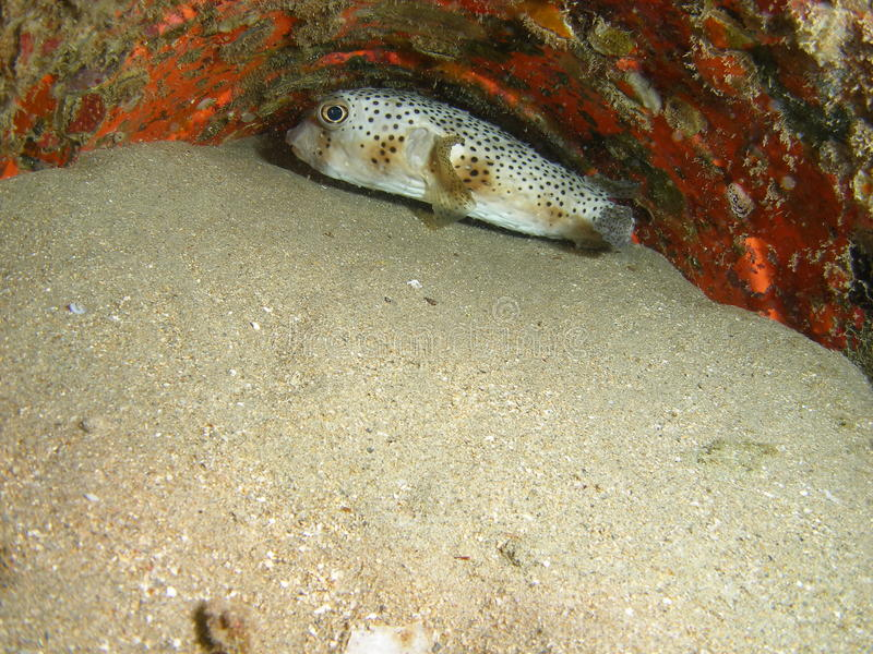 Puffer fish. A puffer fish hiding 0ff the south Florida coast stock images