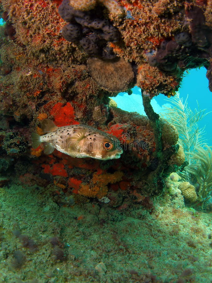 Puffer Fish. A puffer fish with some coral in the background in 20 ft. of water in Pompano Beach, south Florida stock photography