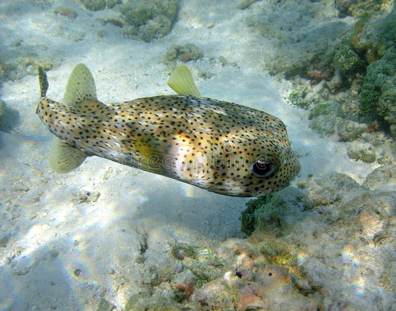 Puffer fish. Underwater shot of a puffer fish. Maldives, Indian Ocean royalty free stock photography
