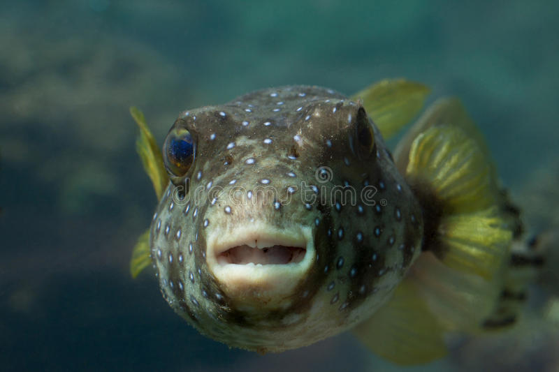 Puffer Fish. Looking straight at the camera with teeth showing royalty free stock photos