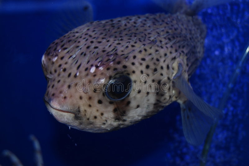Puffer fish. Up close shot of puffer fish on blue back ground stock photo