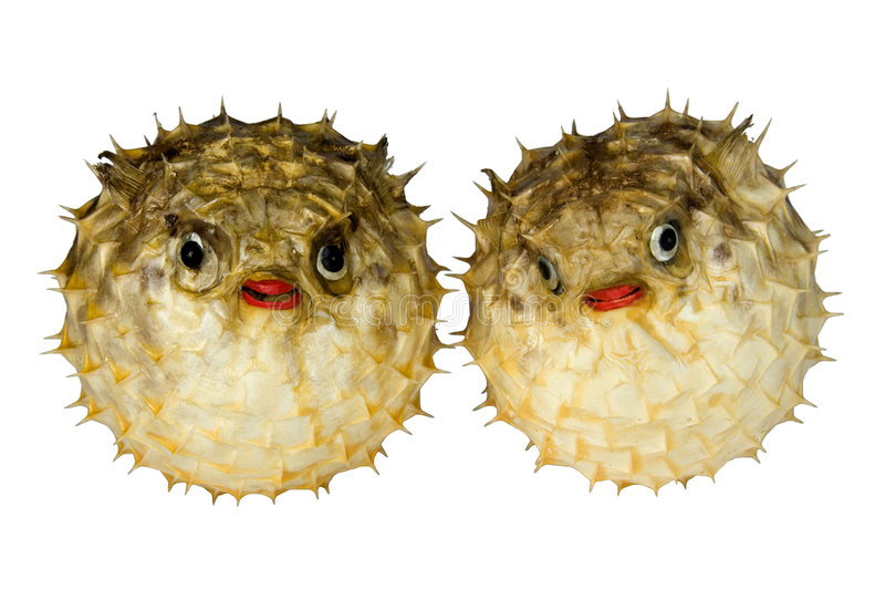 Puffer Fish. Isolated macro image of preserved puffer fish. These were made for display stock photography