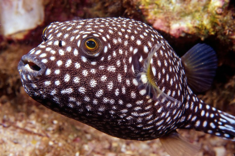 Download Puffer Fish stock image. Image of underwater, puffer, close - 457333