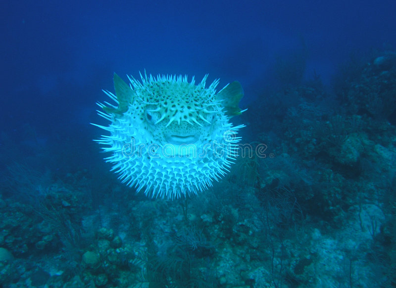 Puffer Fish. A puffer fish shows off his threatening spines