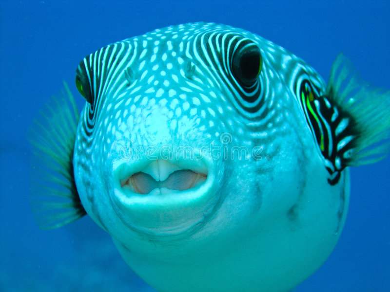 Puffer fish stock image image of spotted turquoise for Puffer fish price