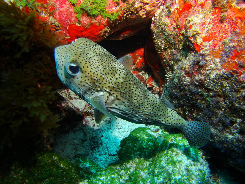 Puffer fish royalty free stock photo