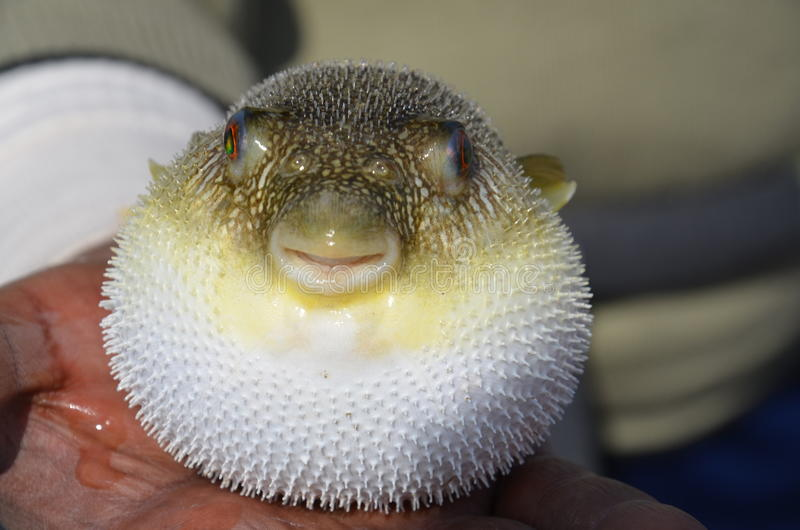 The puffer fish royalty free stock photography