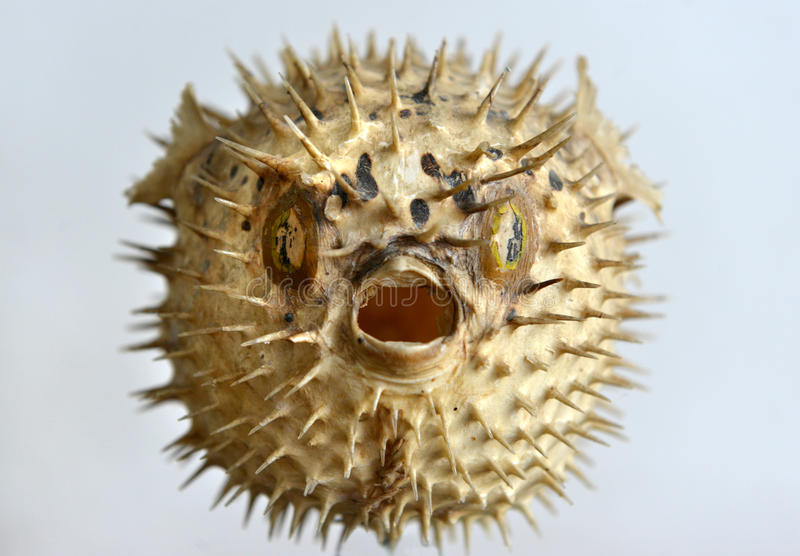Puffer fish skeleton stock photo image of blowfish for Puffer fish price
