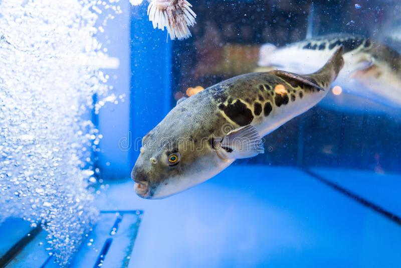 Puffer. A puffer in the fish tank royalty free stock photos
