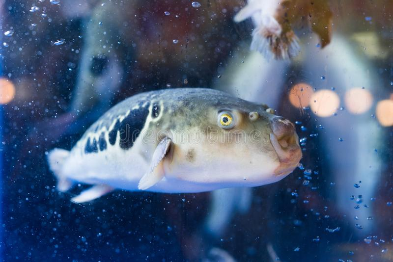 Puffer. A puffer in the fish tank stock images