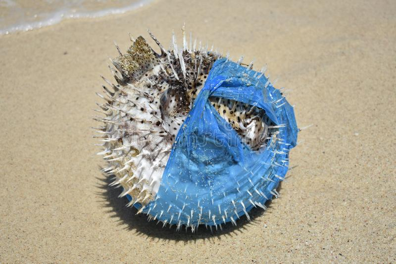 Puffer Fish washed up in a plastic bag. Plastic pollution in ocean environmental problem. Puffer Fish washed up in a plastic bag. Death caused by plastic stock image