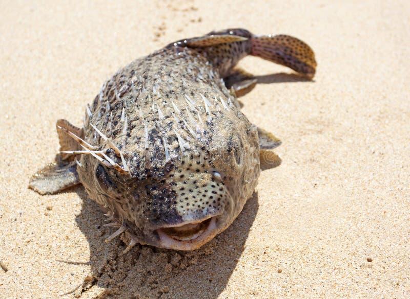 Puffer på stranden fotografering för bildbyråer