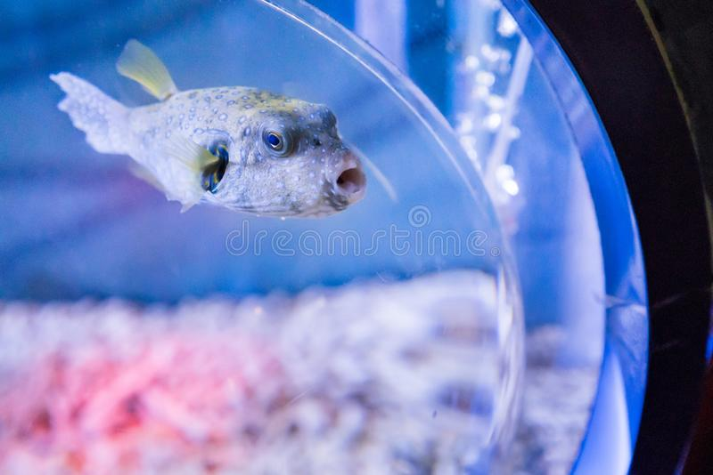 Puffer. A puffer in the fish tank royalty free stock images