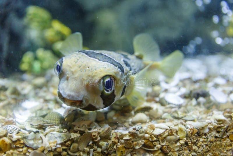 Puffer ryba w zbiorniku przy akwarium w koralowym tle obrazy stock