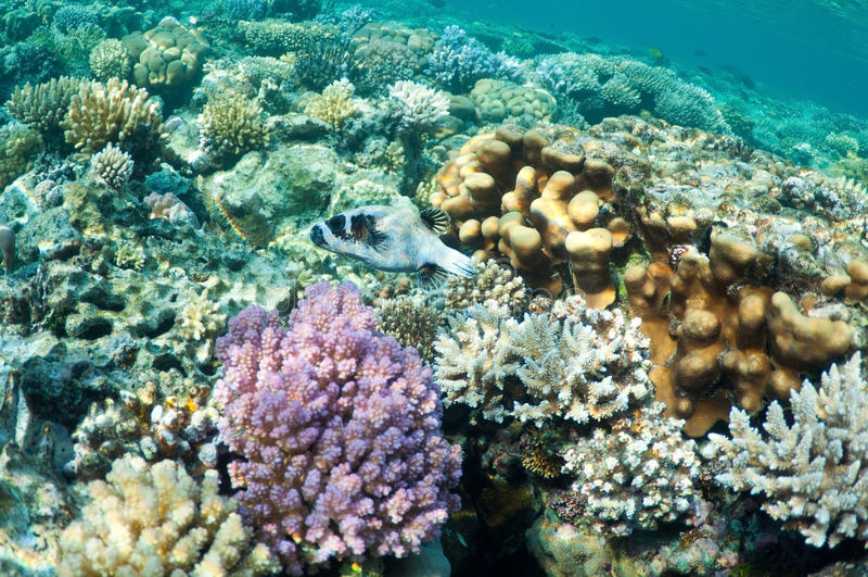 pufferfische im korallenroten garten stockbild  bild von
