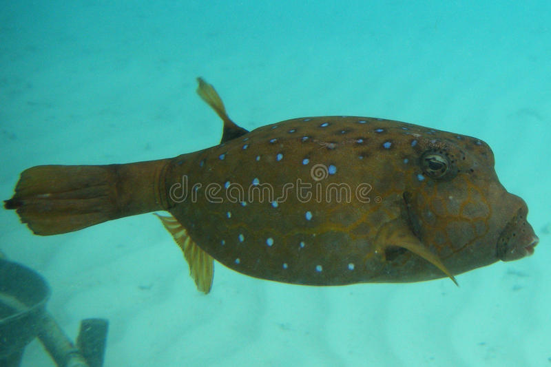 Pufferfish photographie stock libre de droits