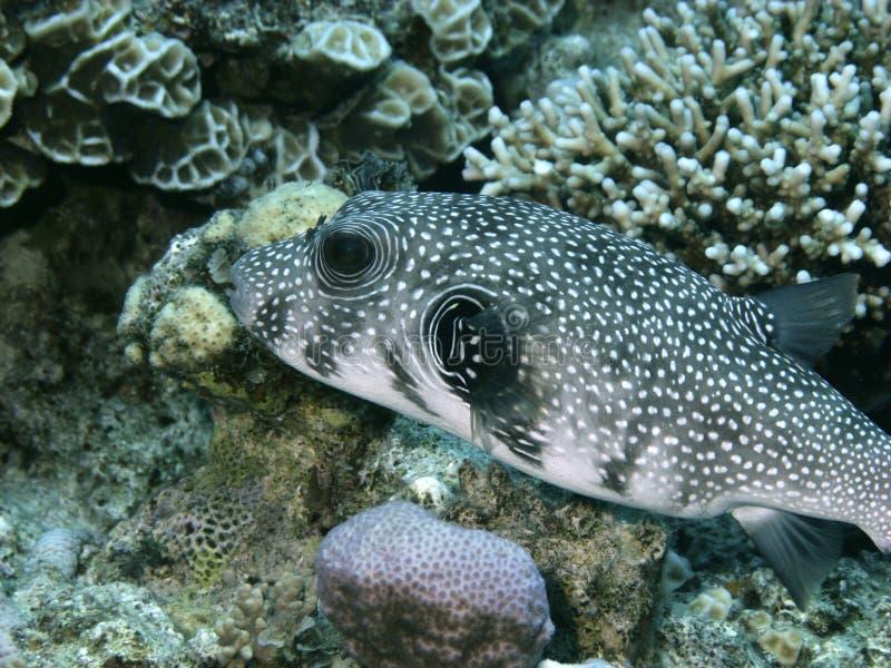 Pufferfish lizenzfreies stockfoto