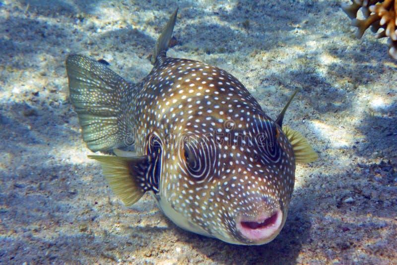 Pufferfish zdjęcie royalty free