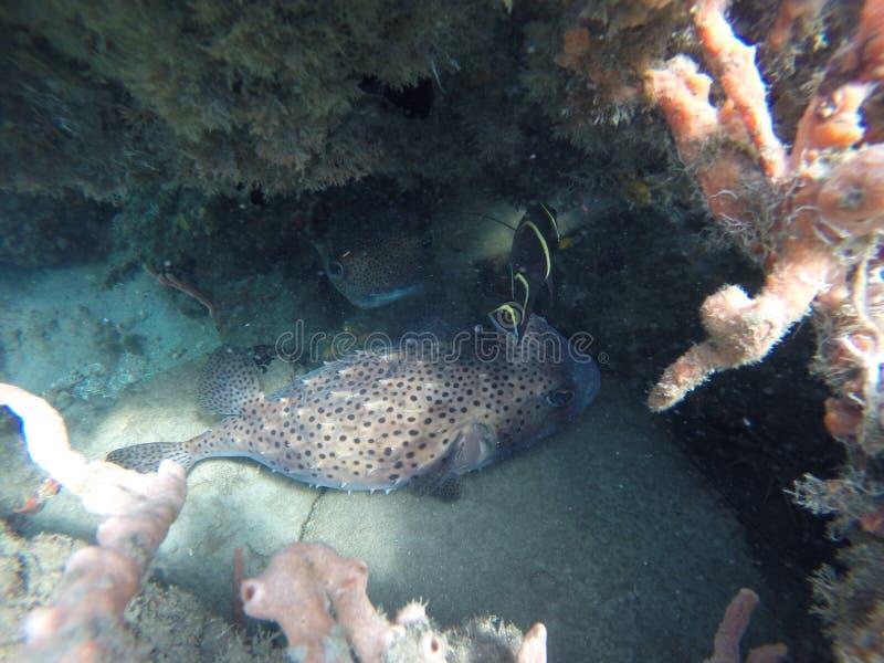 Pufferfish imagen de archivo libre de regalías