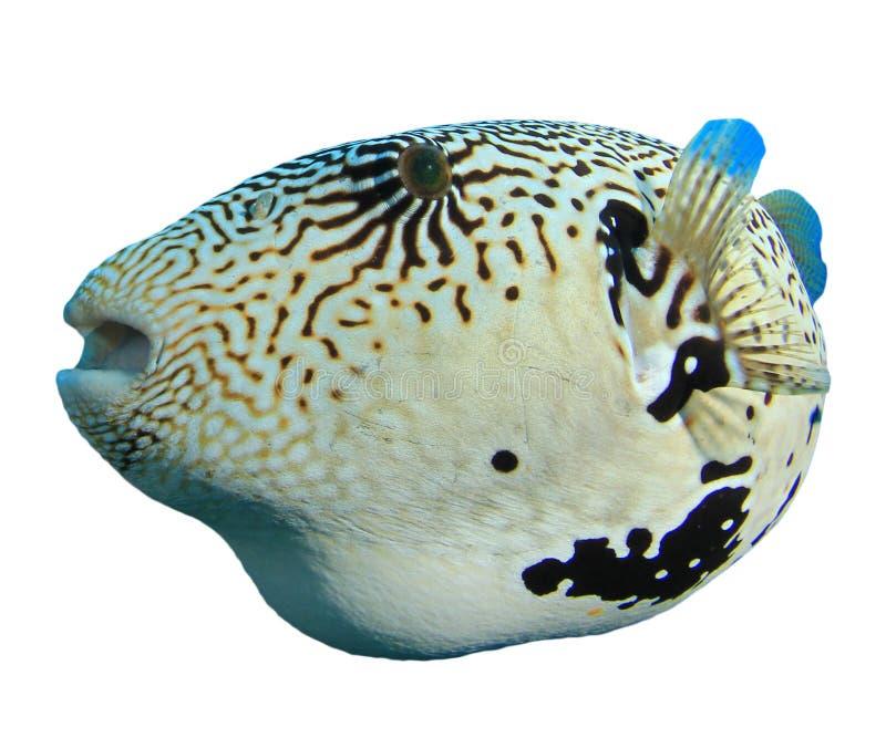 Pufferfish imagem de stock