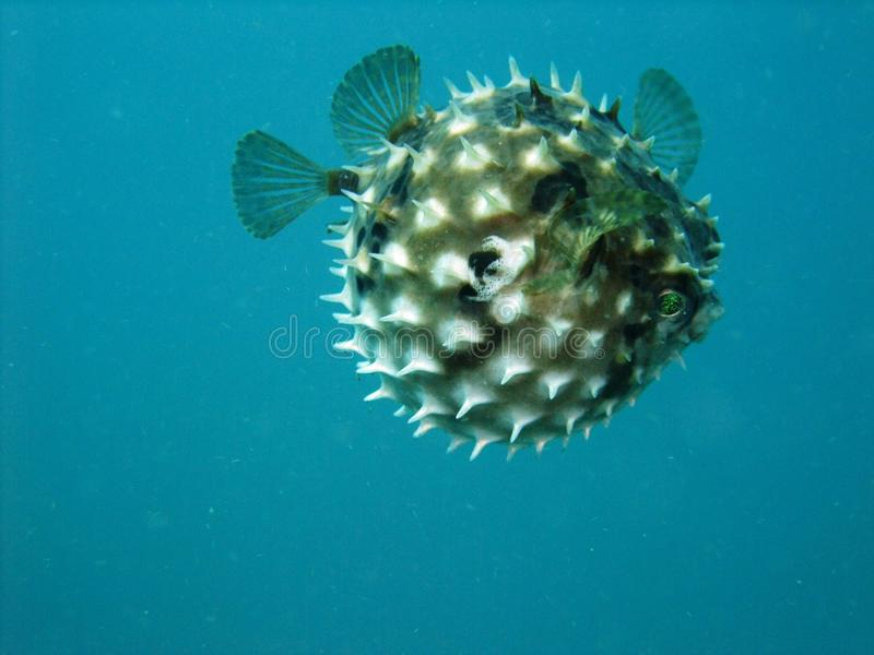 Pufferfish images stock
