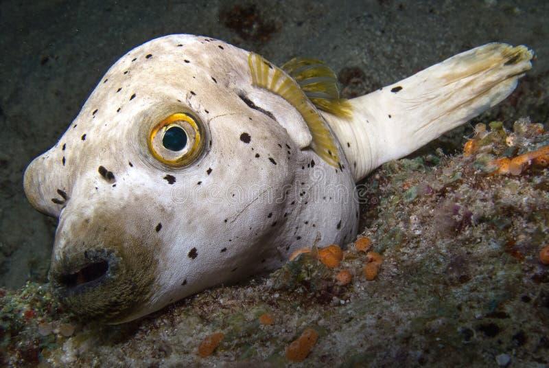 Pufferfish obrazy stock