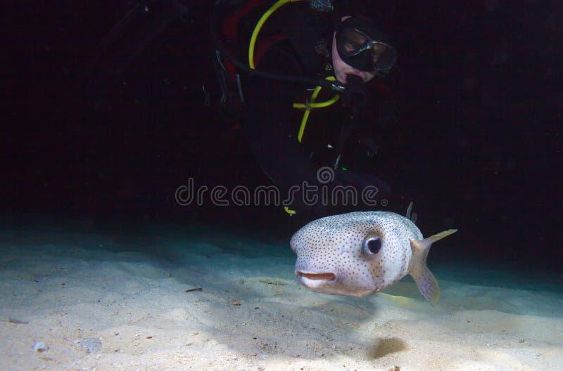 Pufferfish avec le plongeur pendant le piqué de nuit, Cuba images stock
