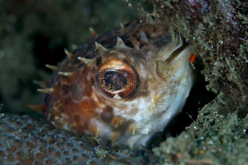 Pufferfish del puerco espín fotografía de archivo