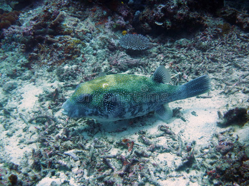 Pufferfish in den Gili-Inseln stockfoto