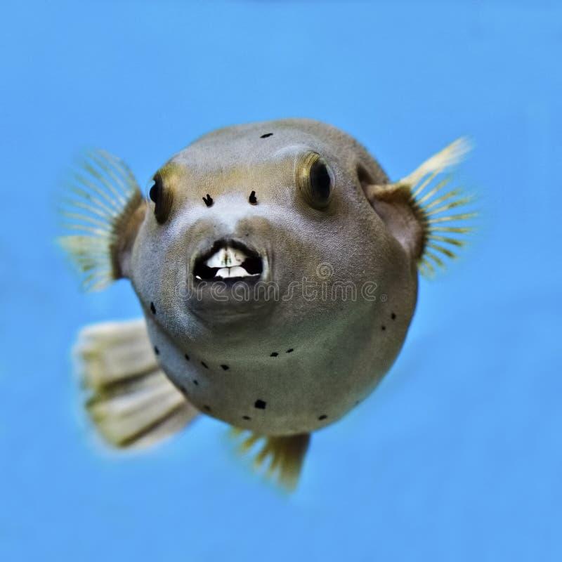 Pufferfish, Dichtungsgesichts-Pufferfisch. stockbild