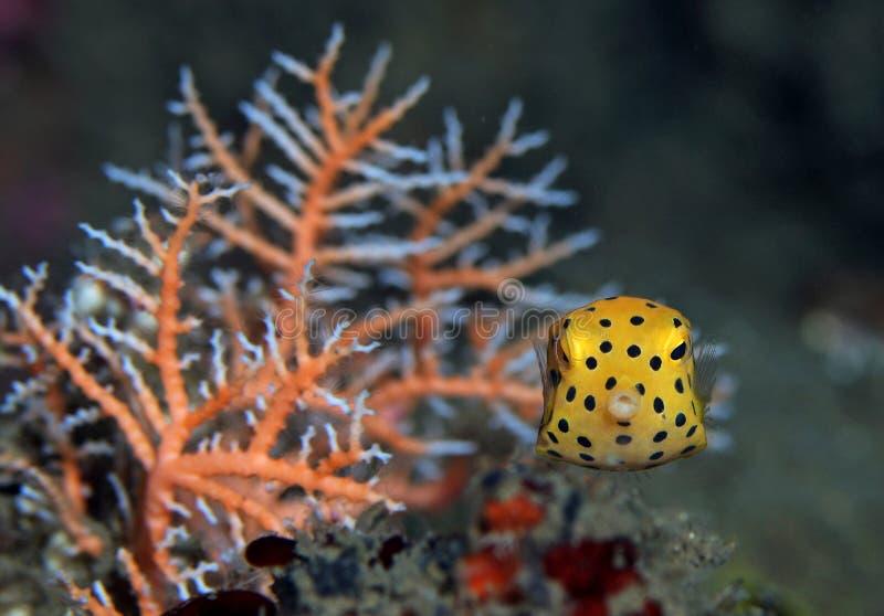 Pufferfish estrelado amarelo de Juvenille, peixe da caixa imagens de stock