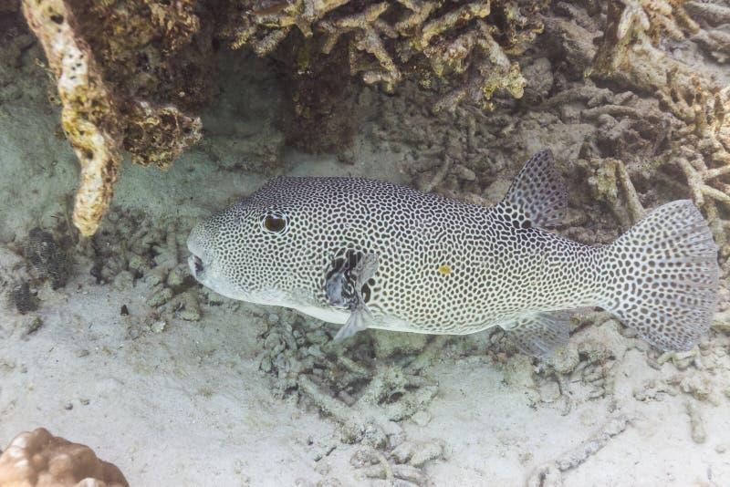 Pufferfish estrelados fotografia de stock