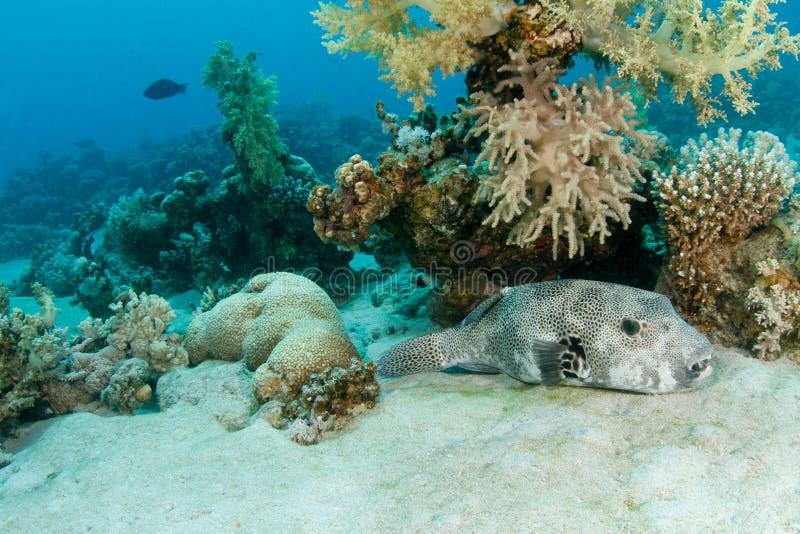 Pufferfish gigante fotografia de stock