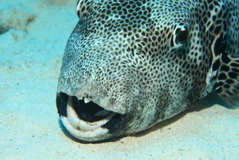 Pufferfish gigante imagens de stock